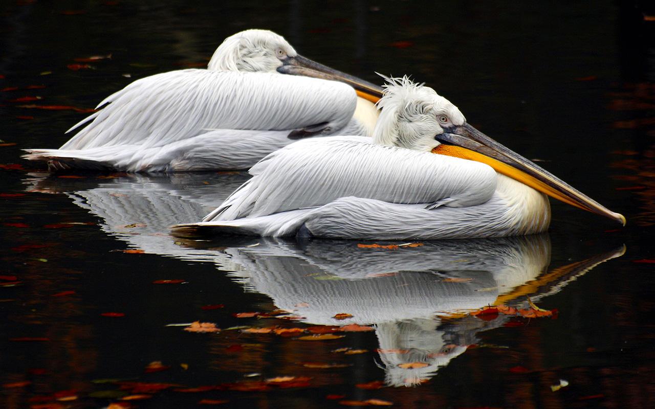 Кудрявый пеликан в Донецке