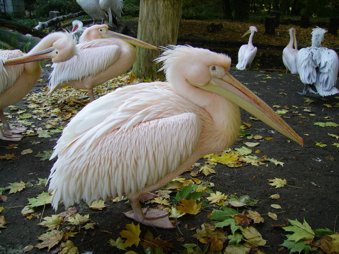 Птенцы розового альбатроса