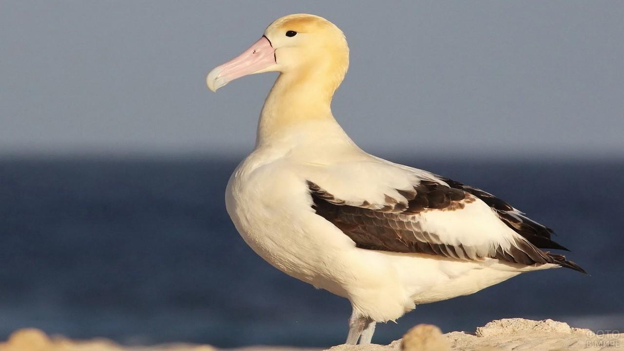Строение и размеры белоспинного альбатроса