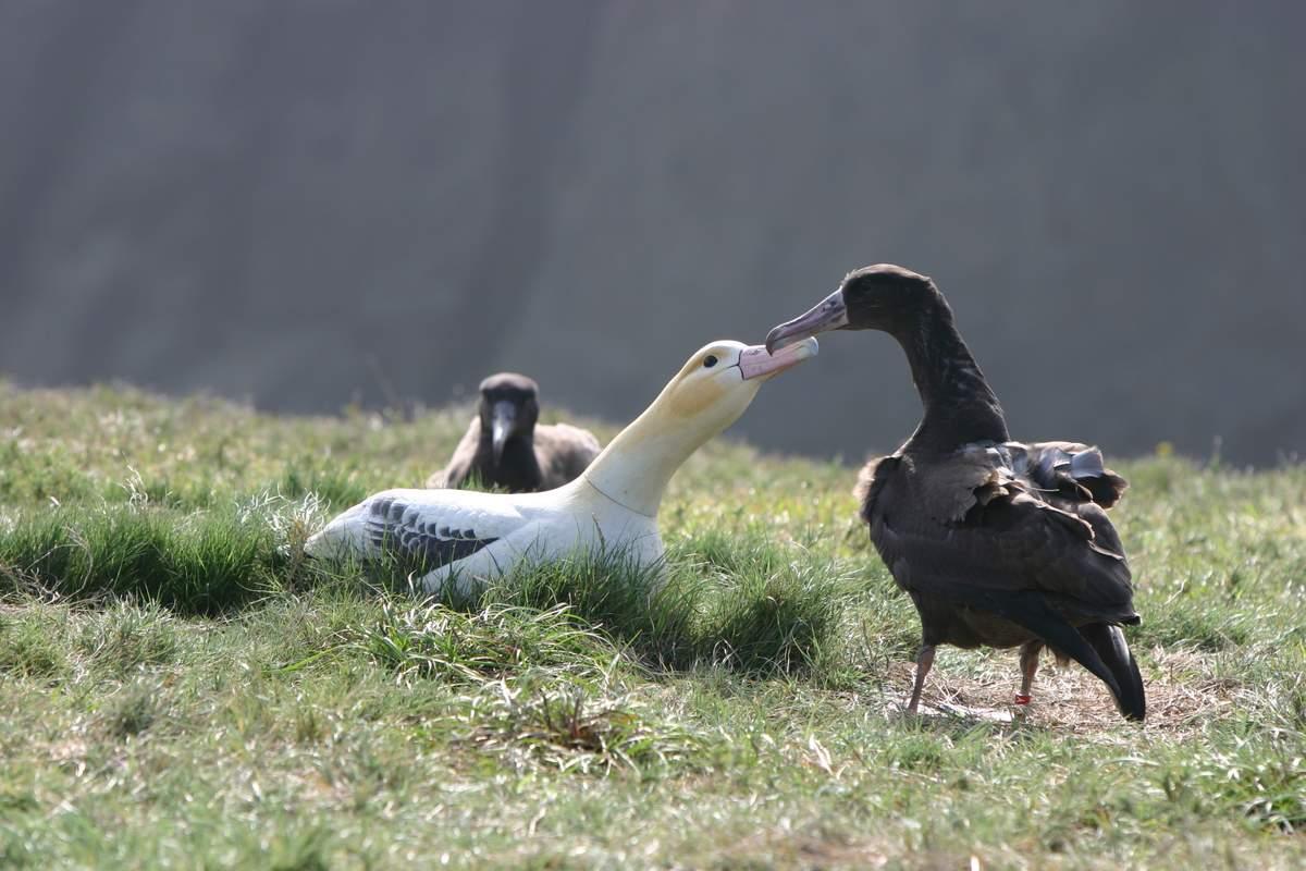 Враги белоспинного альбатроса