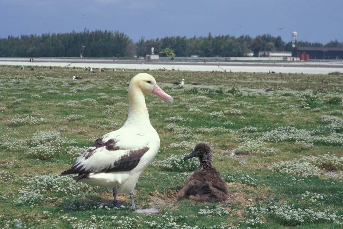Размножение белоспинного альбатроса