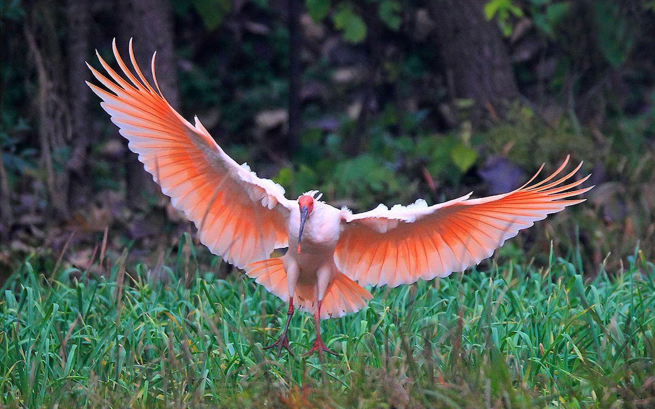 Миграция красного ибиса