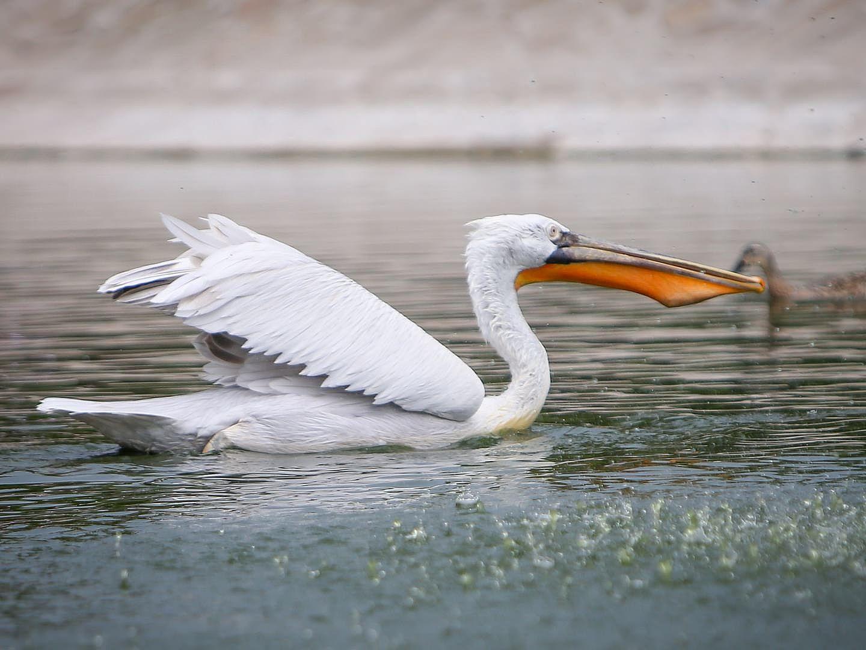 Питание кудрявого пеликана