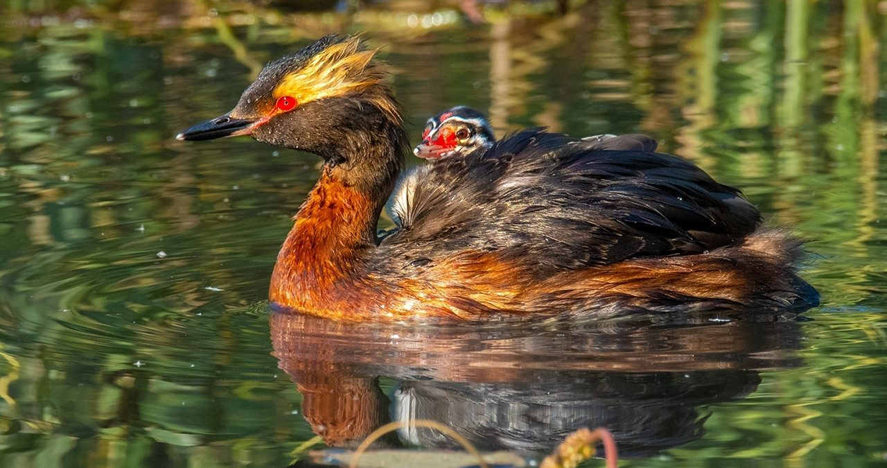 Птенец красношейной поганки с мамой