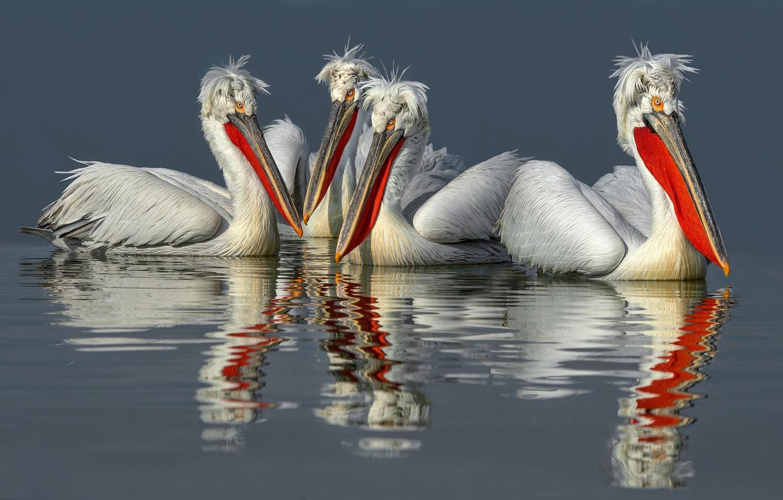 Кудрявый пеликан в Красной книге