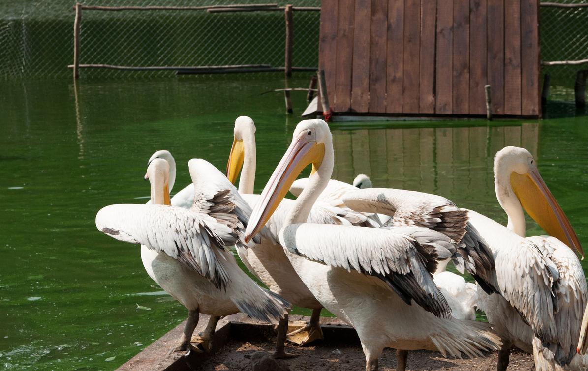 Размножение розового альбатроса