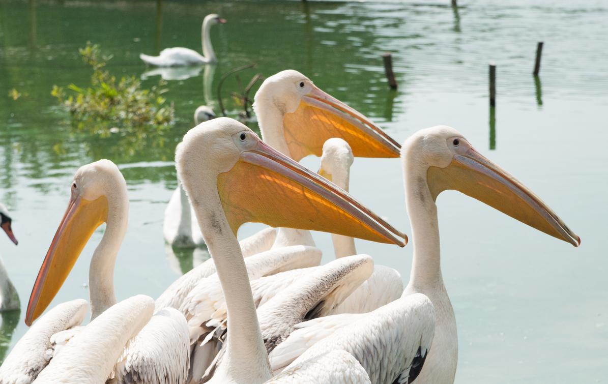 Стая розовых альбатросов