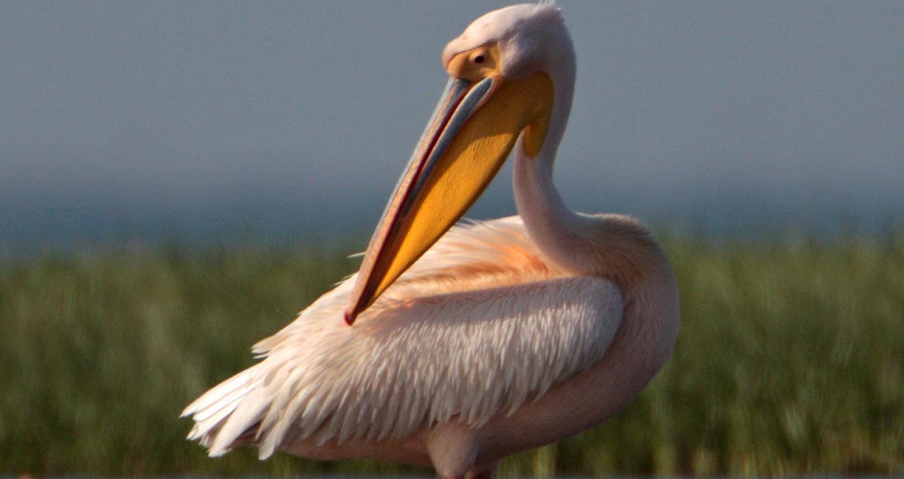 Розовый пеликан в Красной книге