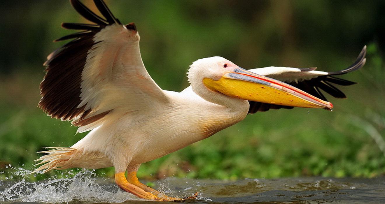 Интересные факты про розовых альбатросов