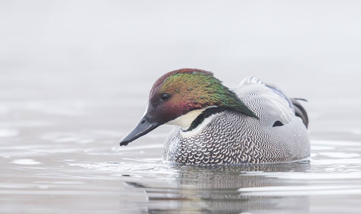 Зимовки птицы касатки
