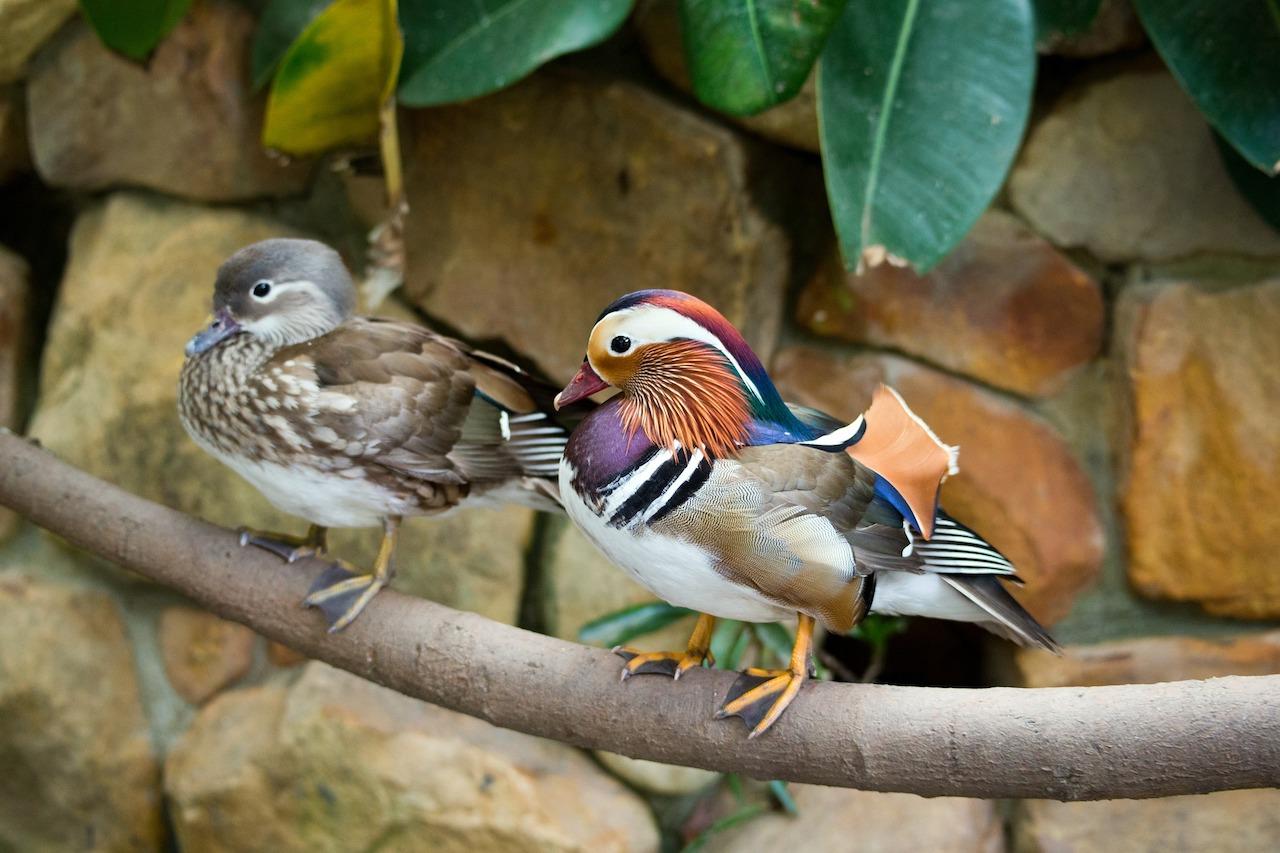 Размножение птички мандаринки