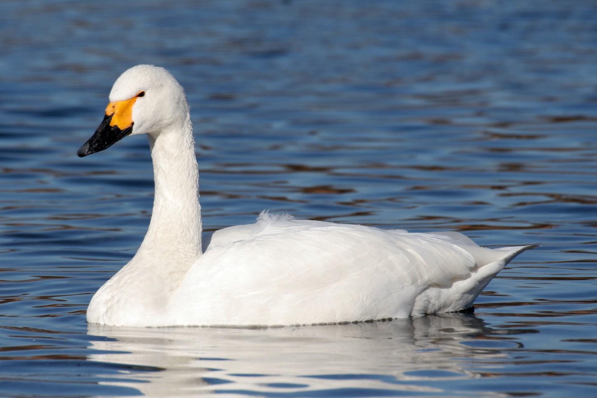 лебедь подмосковья фото