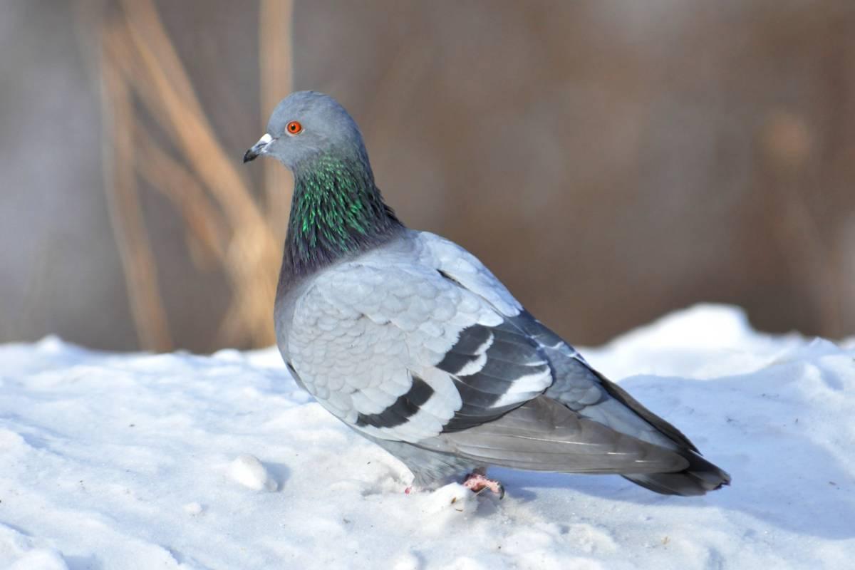 Сизый голубь Птица Ростовской области