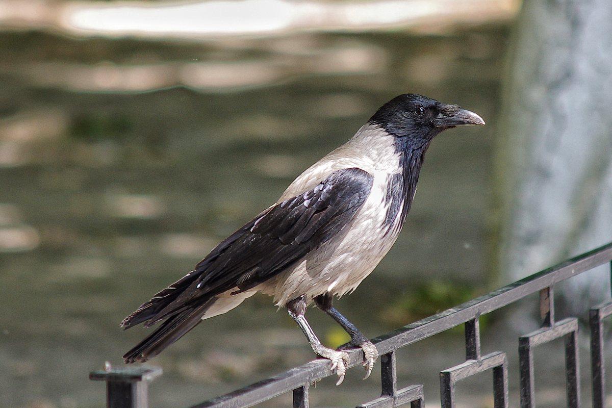ворона серая подмосковья фото