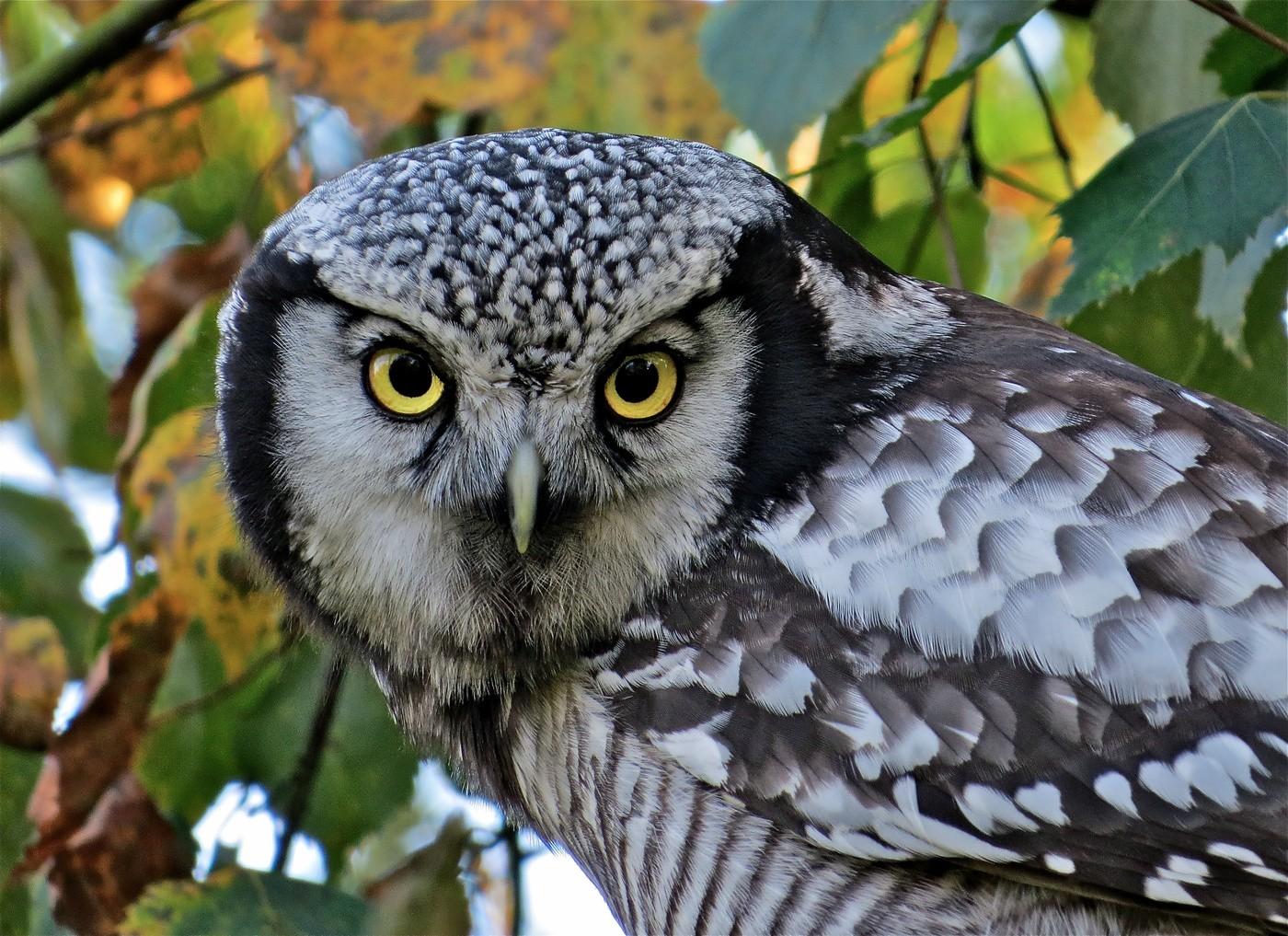 Ястребиная сова Птицы Сибири