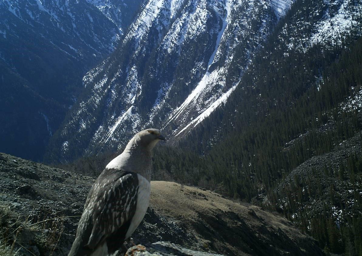 Алтайский улар Птицы Сибири