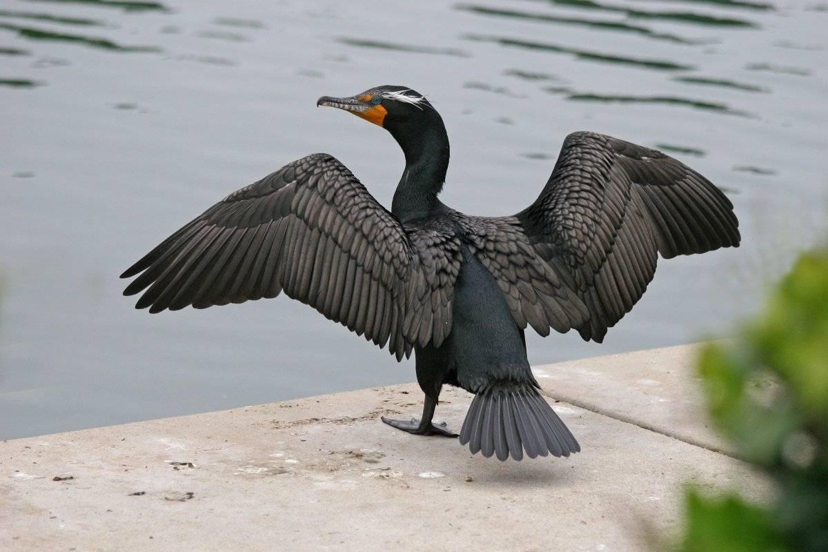 Баклан Птицы Одессы