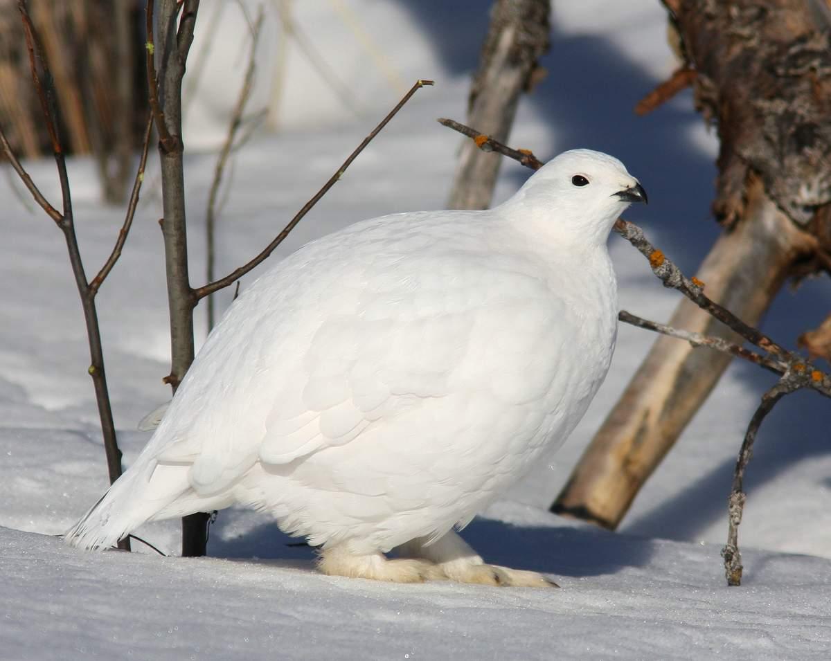 Белая куропатка Птицы Сибири