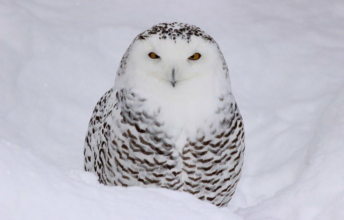 Белая сова Птицы Калужской области