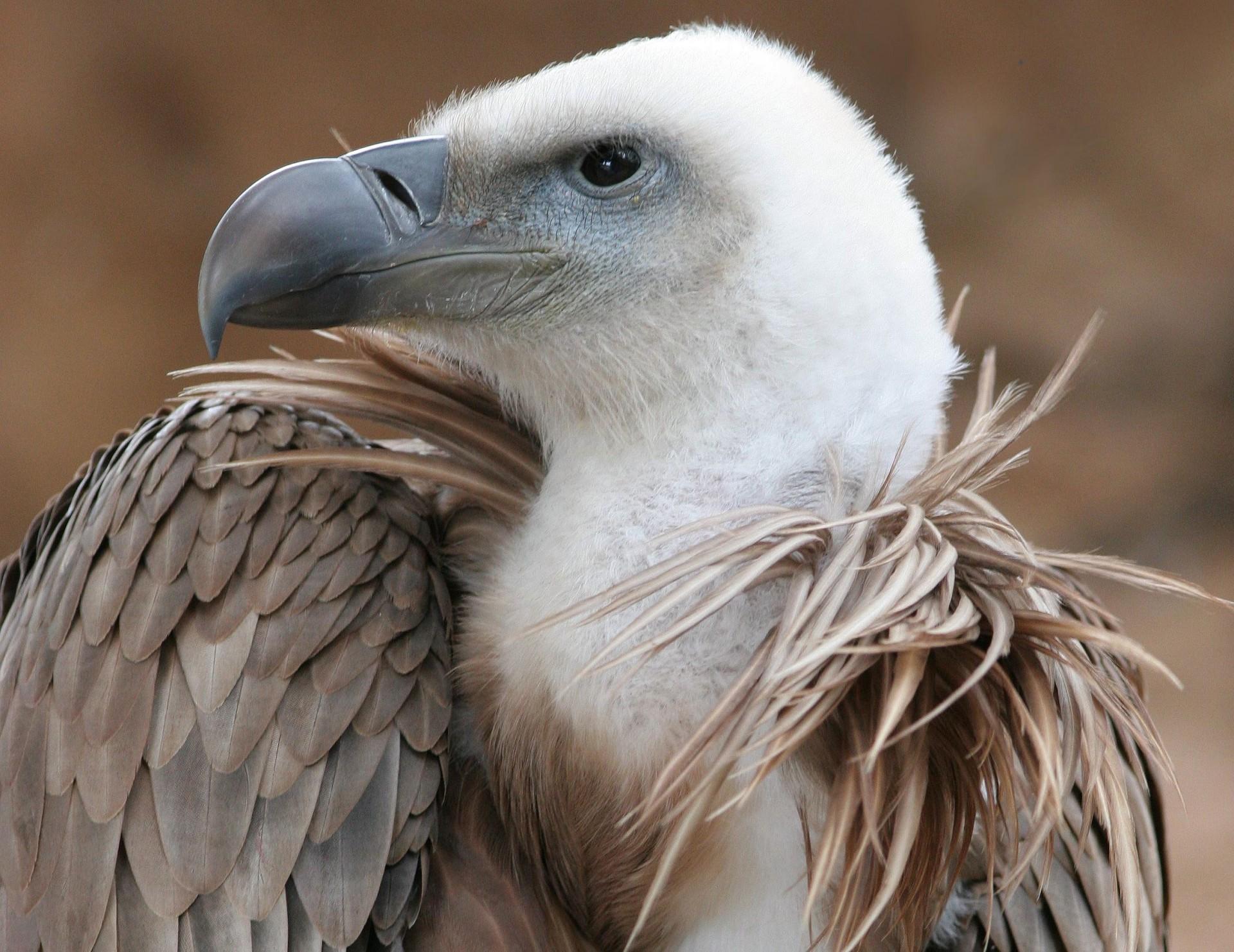 Белоголовый сип Птица Ростовской области