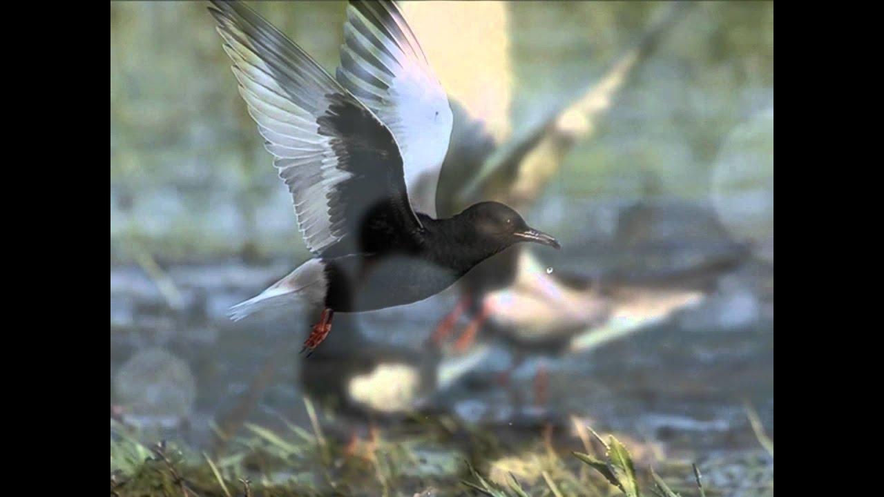 Белокрылая крачка Птица Омской области