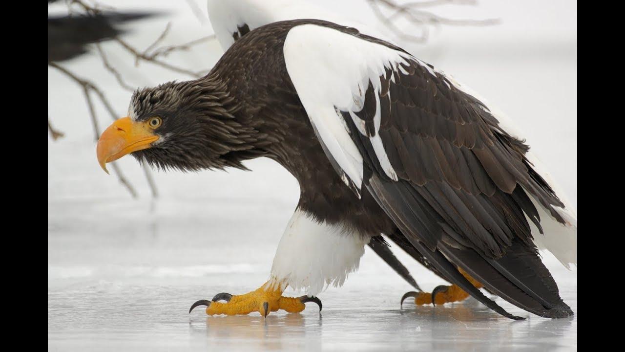 Белоплечий орлан Птица Амурской области
