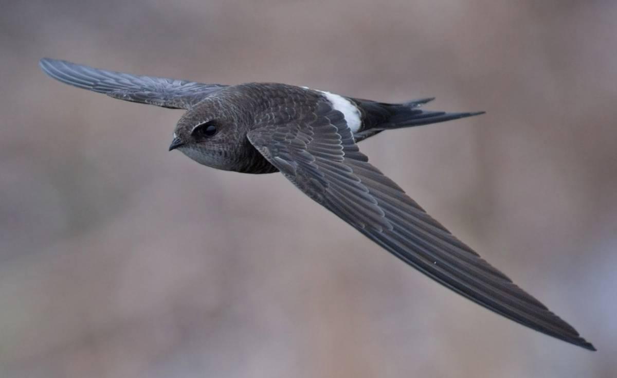 Белопоясный стриж Птица Новосибирска