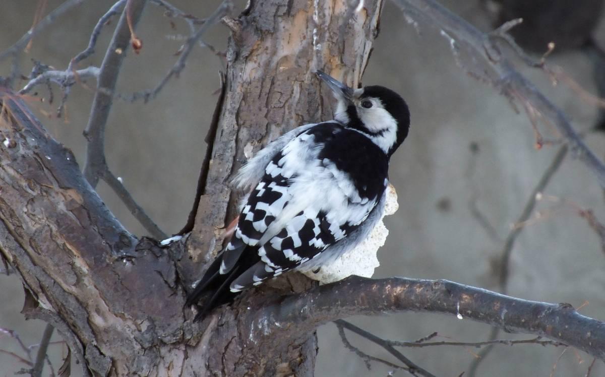 Белоспинный дятел Птицы Новосибирска