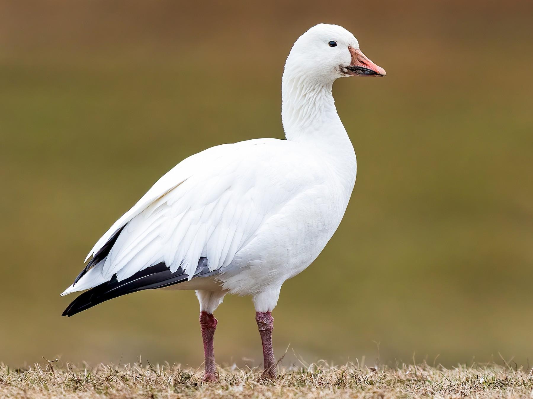 Белый гусь Птицы Украины