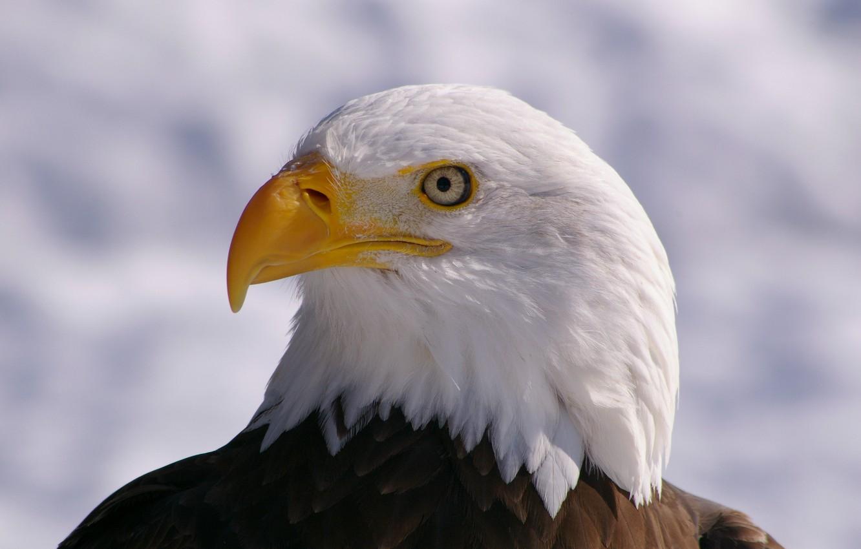 Белый орлан Птицы Сибири