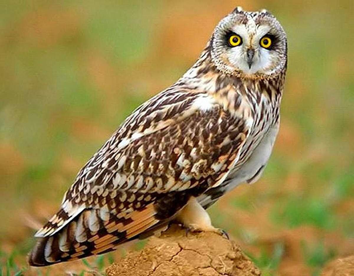 Болотная сова Птицы Калужской области