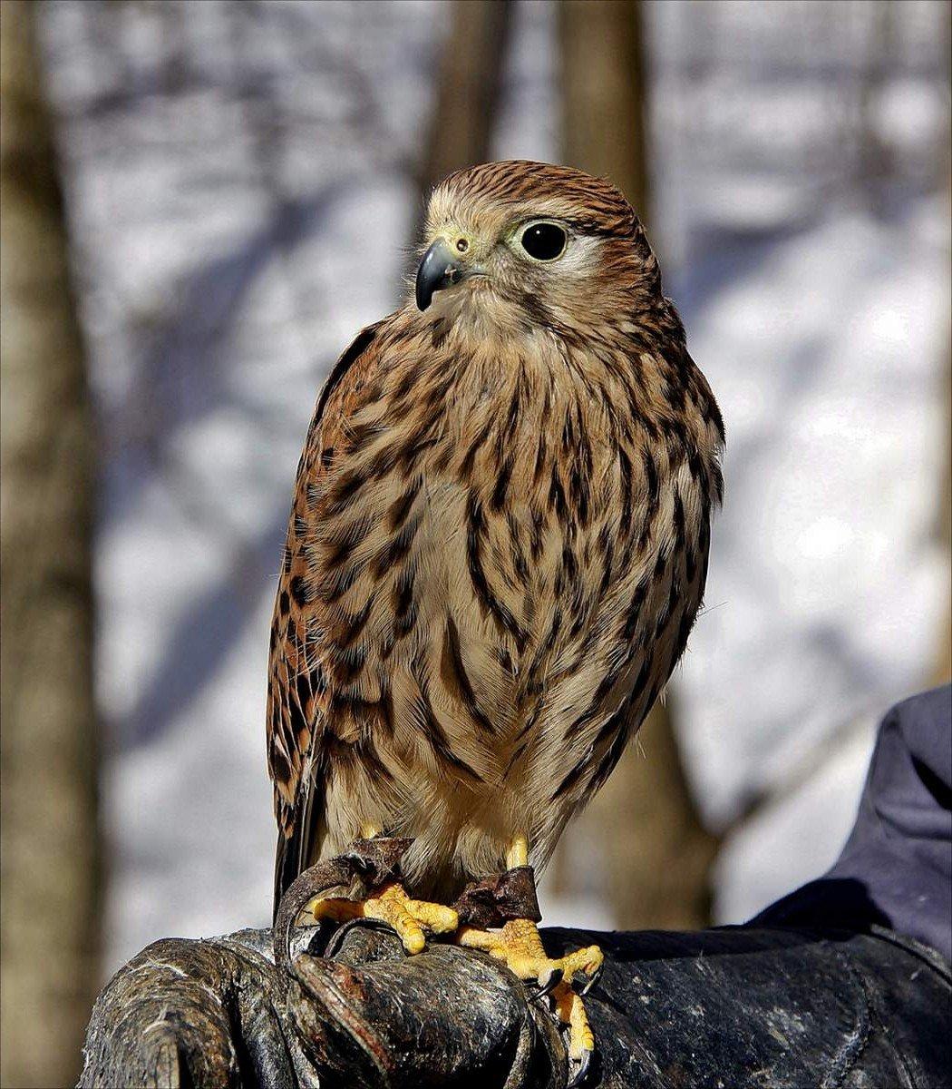 Болотный лунь(самка) Птица Санкт-Петербурга