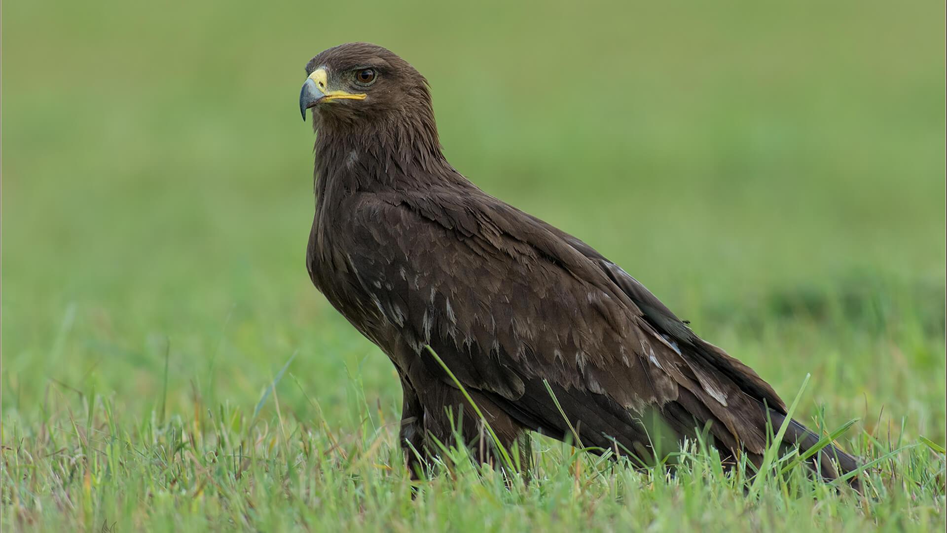 Большой подорлик Птицы Калужской области