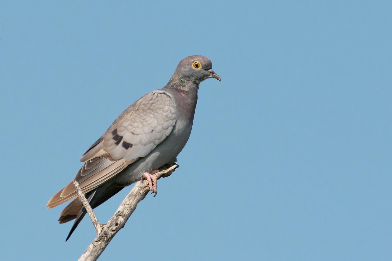 Бурый голубь Птица Сибири