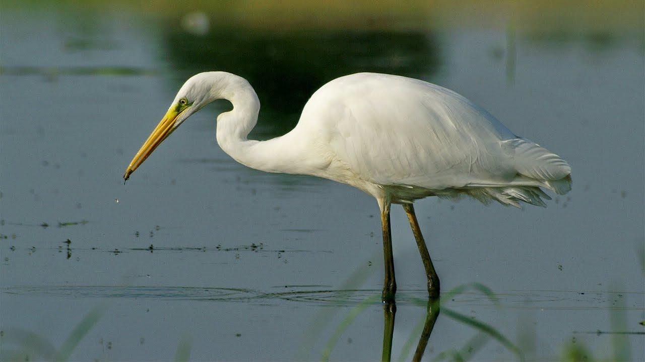 Большая белая цапля Птицы Калужской области
