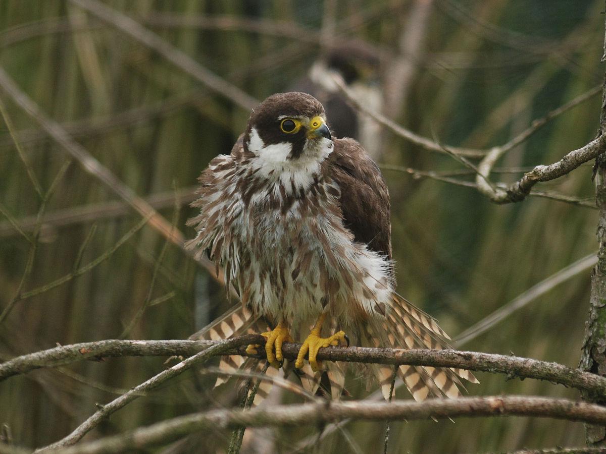 Чеглок Птица Новосибирска