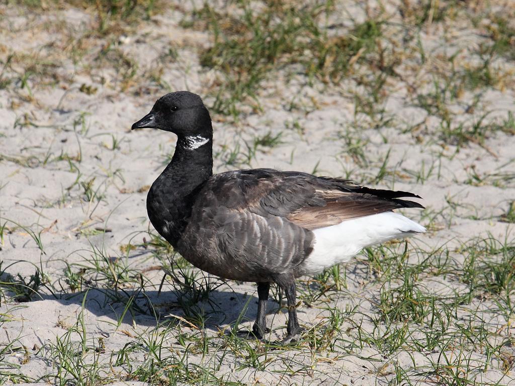 Черная казарка Птицы Калужской области