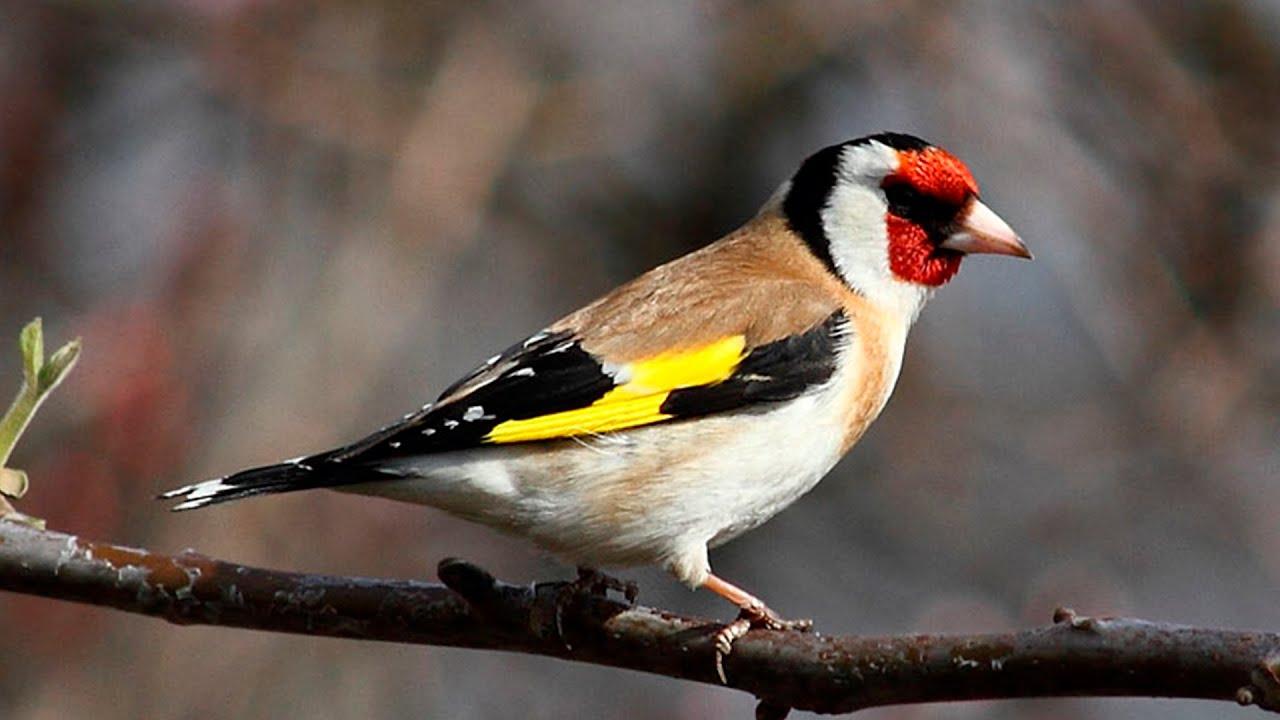 Черноголовый щегол Птица Новосибирска