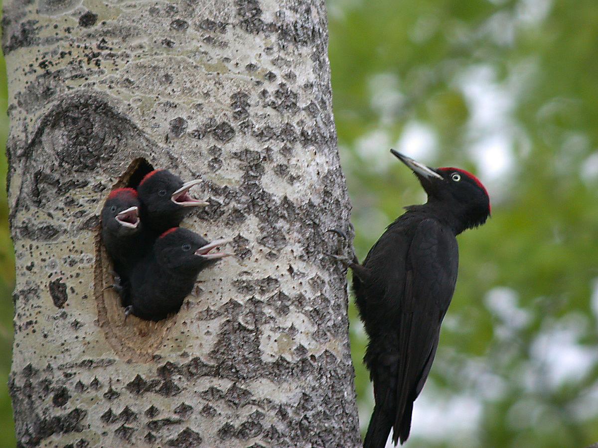 Черный дятел Птица с Тайги