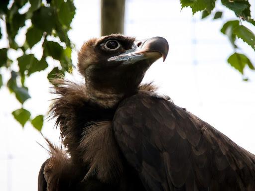 Черный гриф Птицы Самарской области