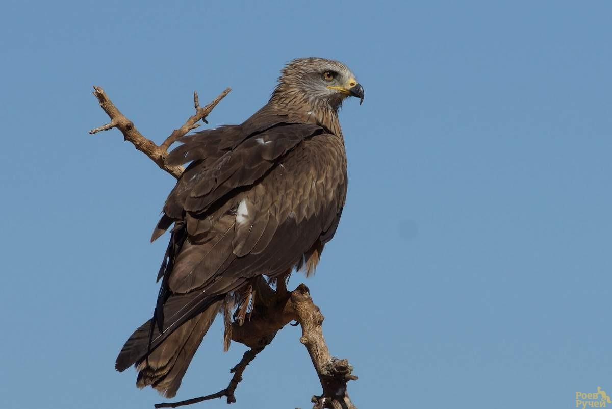 Черный коршун Птицы Сибири
