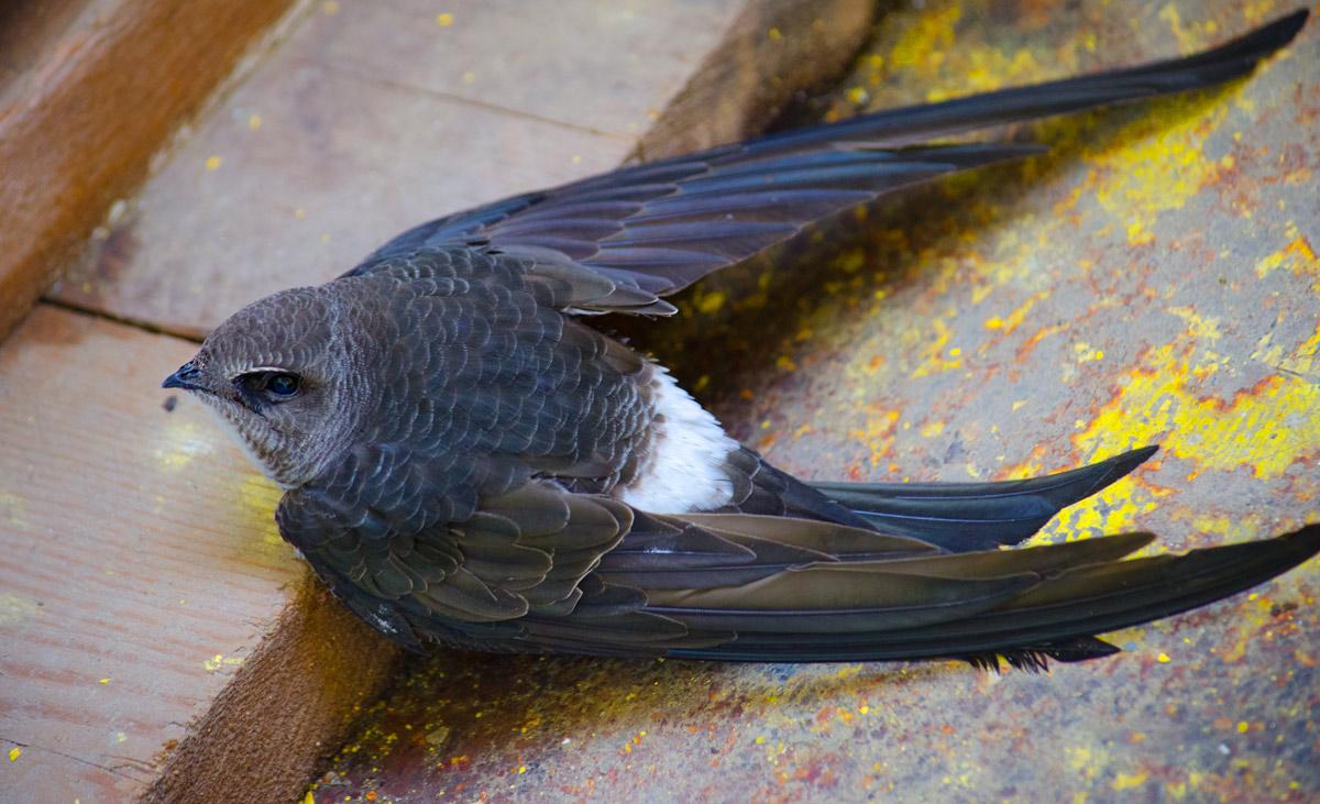 Черный стриж Птицы Новосибирска