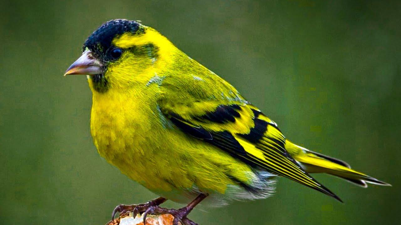 Чиж Птицы Одессы