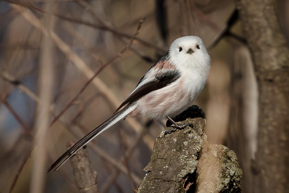 Длиннохвостая синица Птицы Крыма