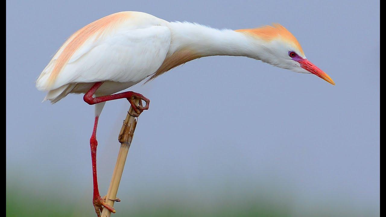 Египетская цапля Птица Амурской области