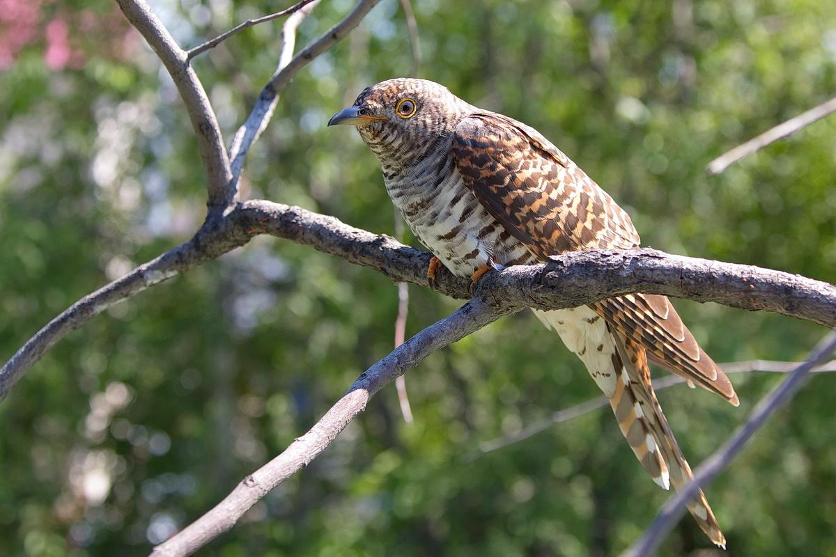 Глухая кукушка Птица Новосибирска