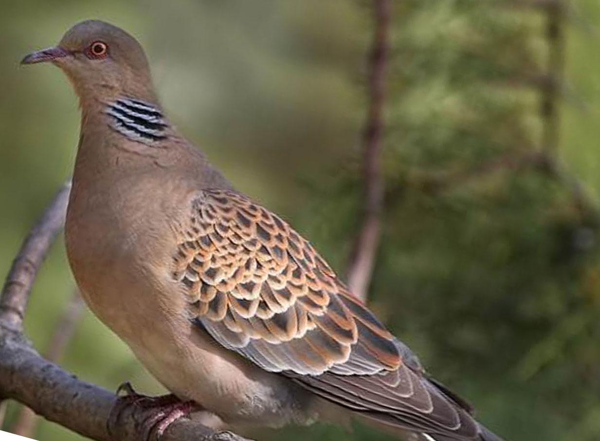 Горлица Птицы Крыма
