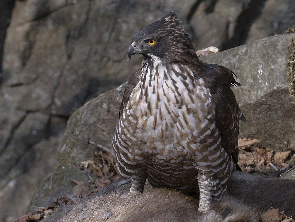 Хохлатый орёл Птица Амурской области