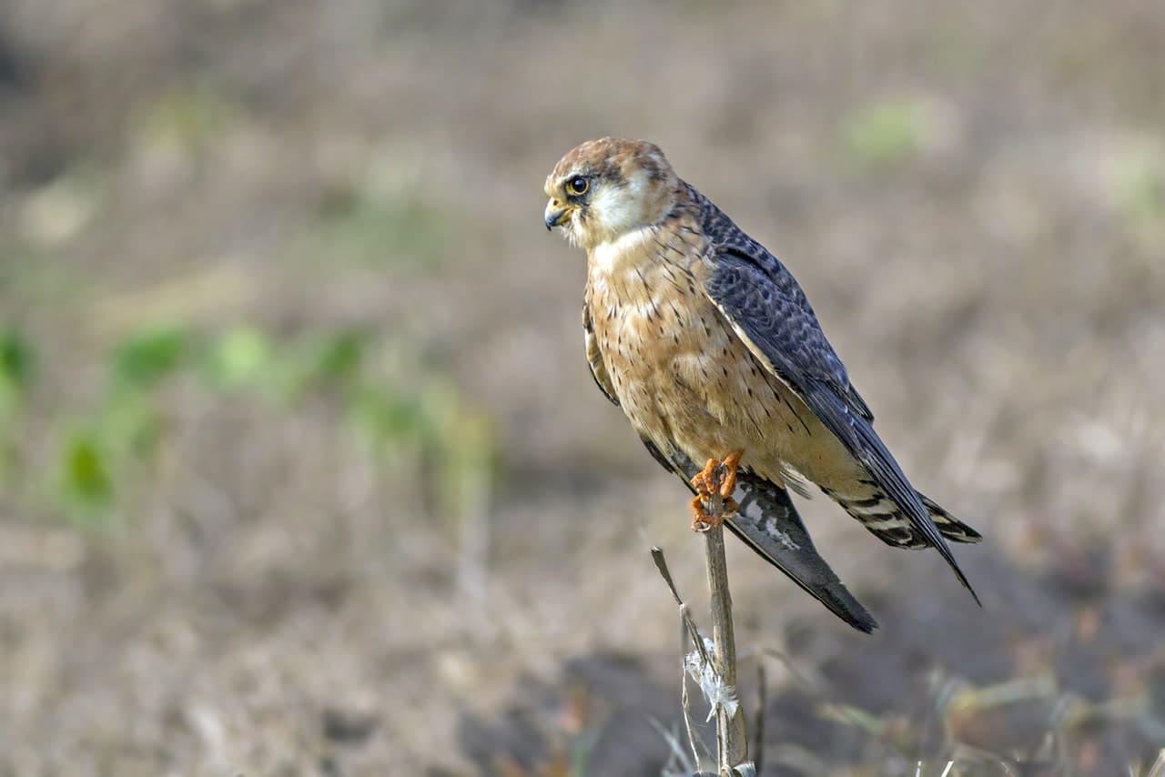 Кобчик Птицы Сибири
