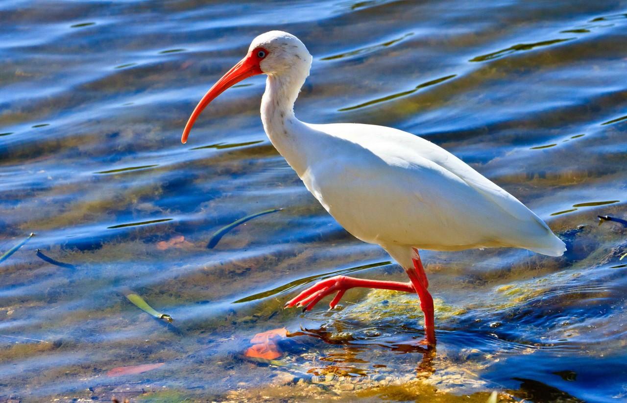 Красноногий ибис Птица Амурской области